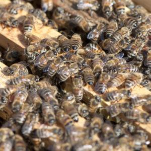 Mesilaspered